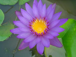 Nymphaea Purple Suphan