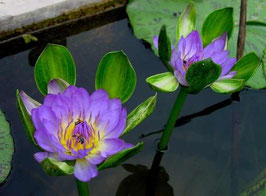 Nymphaea Indian Goddess blue