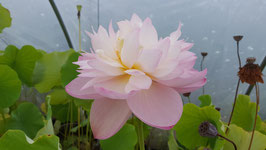 Nelumbo IT-1