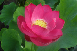 Nelumbo Yimeng Red