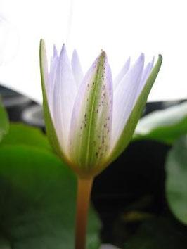 Nymphaea Daubeniana