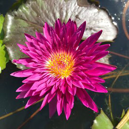 Nymphaea Renegade - Import