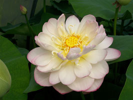 Nelumbo Mrs. Perry D. Slocum