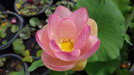 Nelumbo Lotusland's Pink Marble