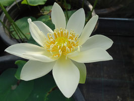 Nelumbo Sweet Acacia