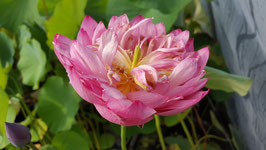 Nelumbo Rainbow Brocade