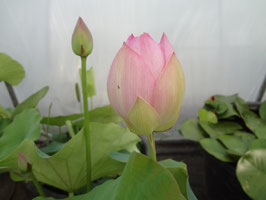 Nelumbo Korea 18