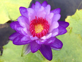 Nymphaea Betty Lou - Import