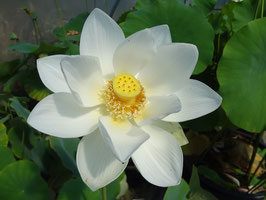 Nelumbo Samui White