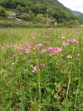 れんげ農法のお米5kg(29年産玄米)