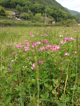 れんげ農法のお米2kg(29年産玄米)