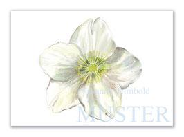 Kunstkarte Christrose Artikelnr. sr103