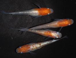 紅白ラメの稚魚 10匹 B-4