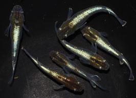 ブロンズの稚魚 10匹 B-8