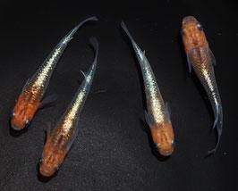 煌の稚魚 10匹 B-1
