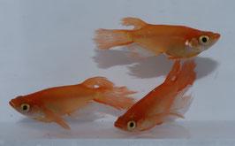 紅帝松井鰭長の稚魚 10匹 B-2