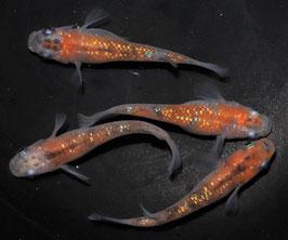 三色ラメの稚魚 10匹 B-5