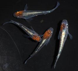 オーロラ黄ラメ体外光の稚魚 10匹 B-9