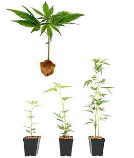 Piantina di Cannabis Sativa L. Varietà kompolti