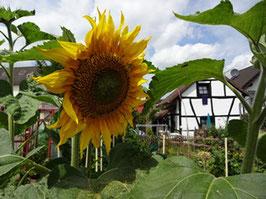 Sonnenblume, große