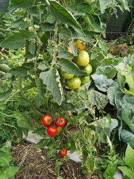 """Tomate """"Frühzauber"""""""