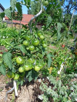 "Tomate ""Rheinland`s Ruhm"""