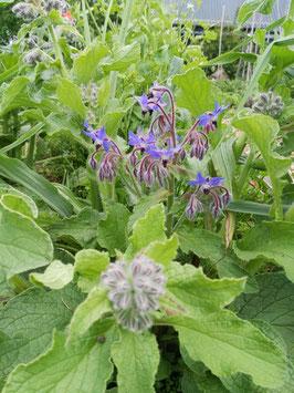 Boretsch, blau blühend