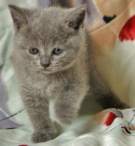 Кошечка британская голубая (bri a)