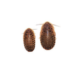 Dubia's (Kakkerlakken)  100 stuks halfwas 2-3cm