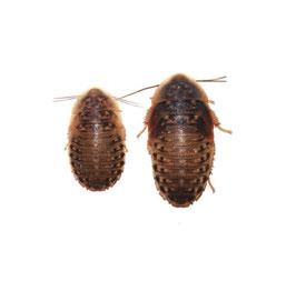 Dubia's (Kakkerlakken) 11 stuks subadult 3-4cm