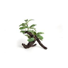 Nepplant vijgenboom