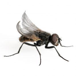 Krulvlieg groot 100 stuks