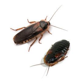 Dubia's (Kakkerlakken)  100 stuks volwassen 5-6cm