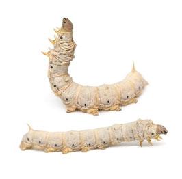 Zijderupsen subadult 15 stuks 3-4cm