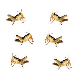 Bulk sprinkhanen klein (100 stuks)