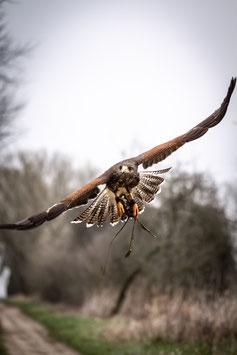 VIP Hawk Walk - mit freifliegenden Greifvögeln
