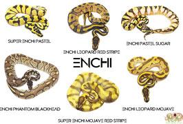 Ball python morphs poster - Enchi (2020)
