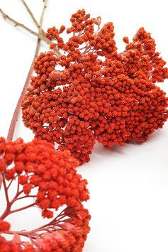 Achillea orange (3 Stiele)