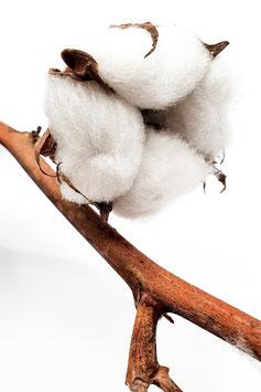 Baumwolle (1 Stiel)