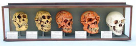 RÉPLICAS DE CALAVERAS DE LA EVOLUCIÓN HUMANA | Réplicas de cráneos