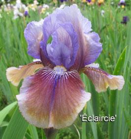 'Eclaircie' - IB - 53cm