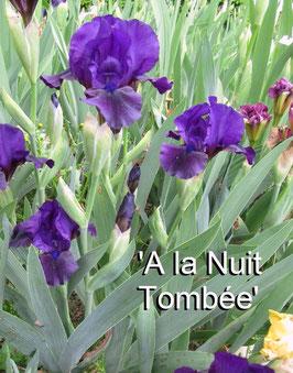 'A la Nuit Tombée' -IB-45cm