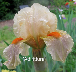 'Adirittura' - IB - 60cm