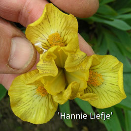 'Hannie Liefje'