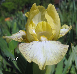'Ziba'