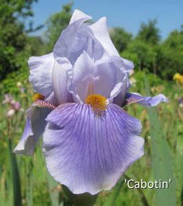 'Cabotin'  - SFTB - 72cm