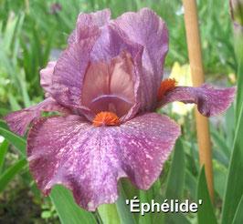 'Ephélide'