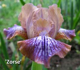 'Zorse' - SDB - 27cm