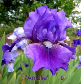 'Amblie'