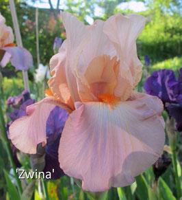 'Zwina' - TB - 72cm